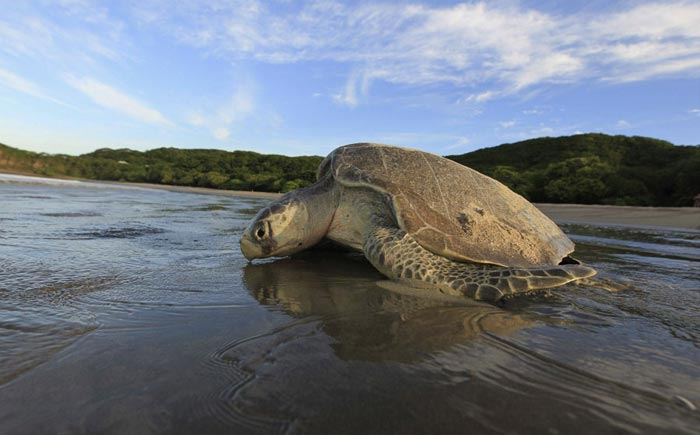 Olive Ridley - Odisha Photo Gallery - Bhubaneswar Cab Rental